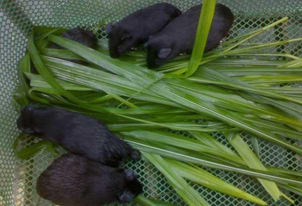 黑豚养殖的饲料配方