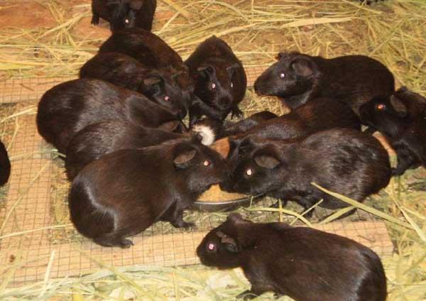 黑豚养殖的繁殖技术