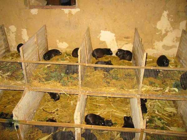 成年黑豚饲养管理技术