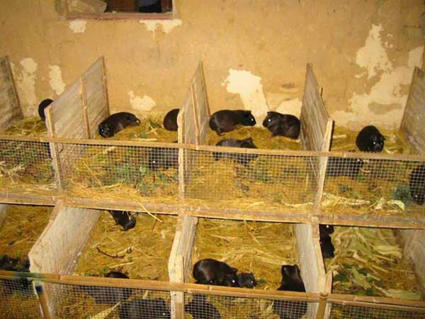 中国黑豚养殖技术