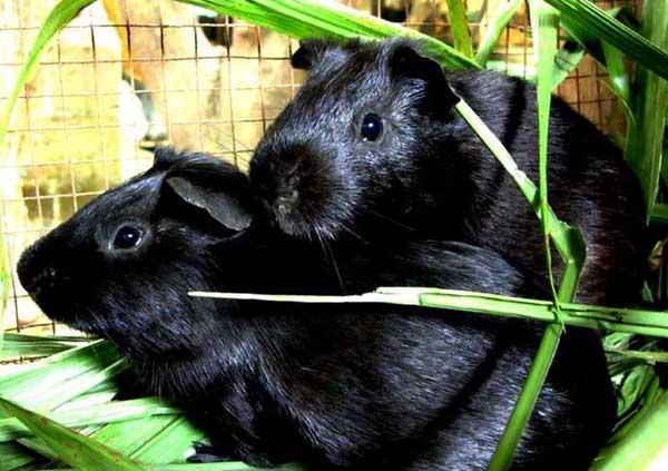 黑豚冬季饲养管理技术