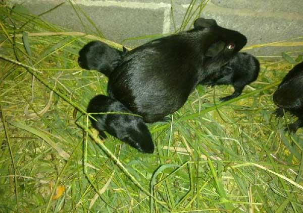黑豚养殖管理中温度和湿度的控制