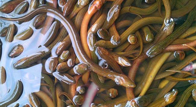 黄鳝常见疾病生态防治方法