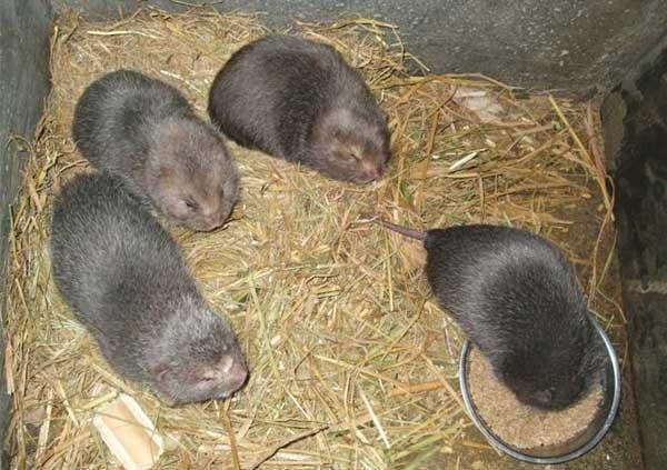 竹鼠养殖前的生物学特征