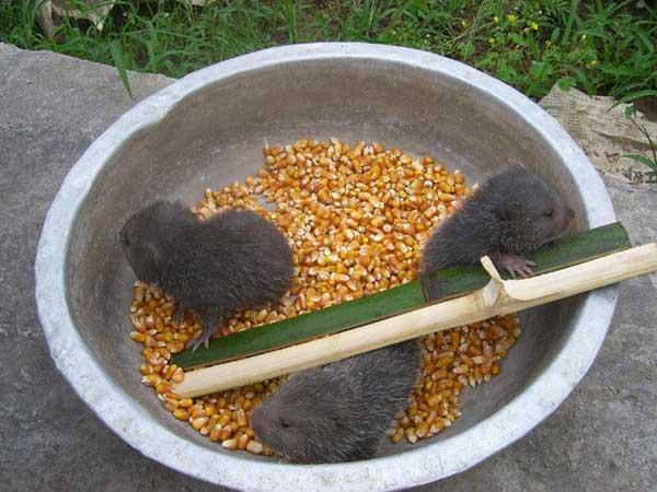 竹鼠常用饲料及搭配方法