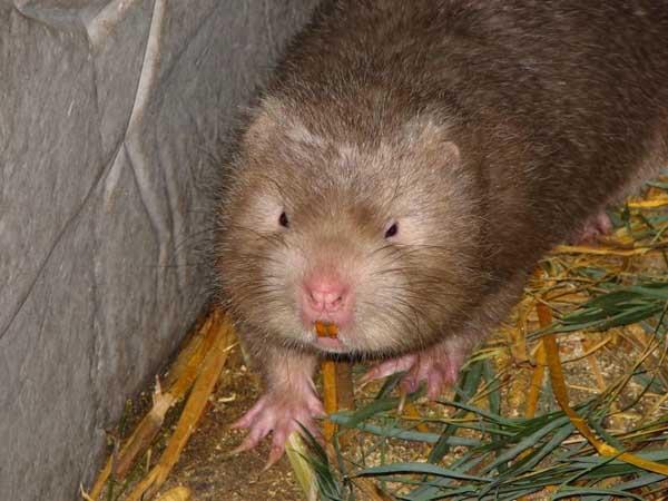竹鼠繁育的注意事项