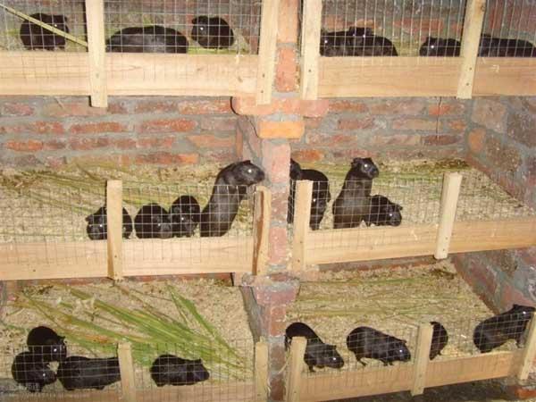 竹鼠养殖场的日常管理
