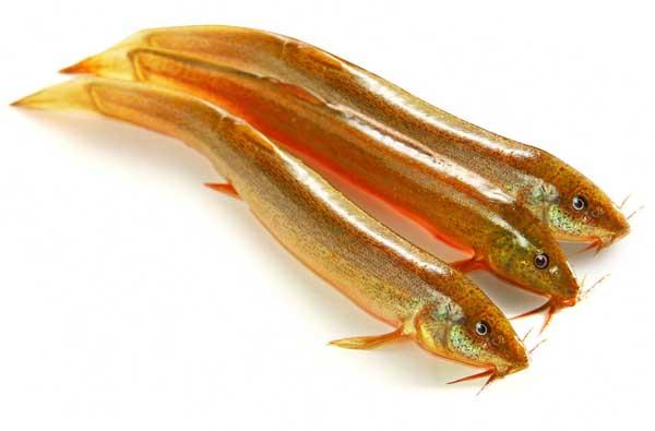 泥鳅小瓜虫病的防治方法