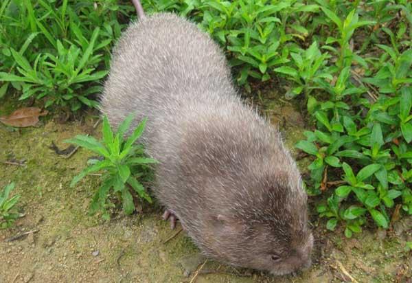竹鼠病患辨别和特征