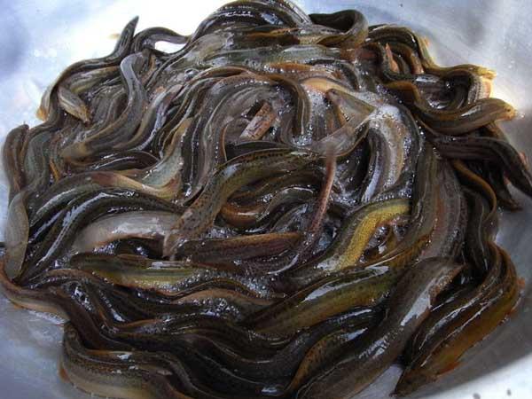 四种泥鳅的暂养方法