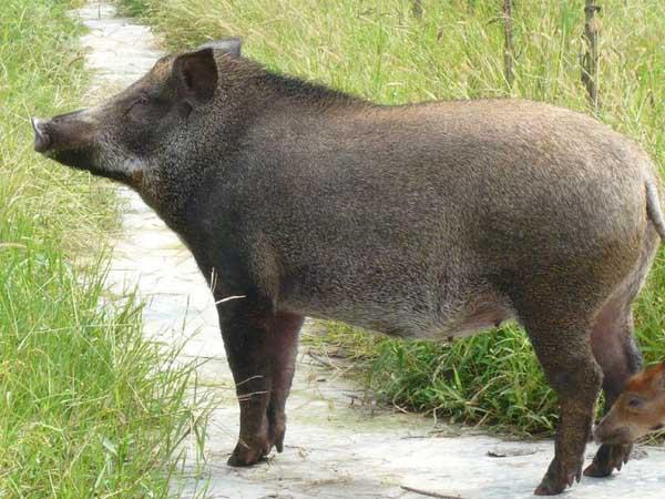野猪驯养与杂交利用