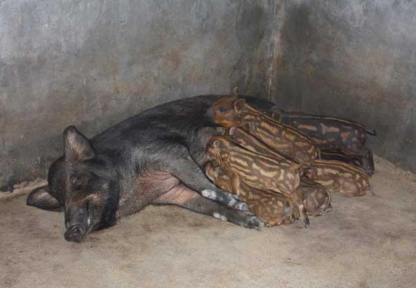 特种野猪繁殖技术