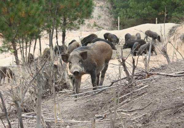 野猪养殖场的建设参考方案