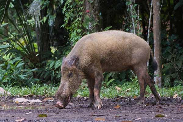 特种野猪的养殖特点
