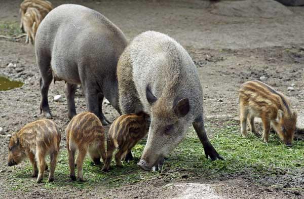 种用母野猪的选择技巧