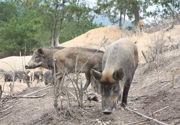 野猪肉营养价值有哪些?