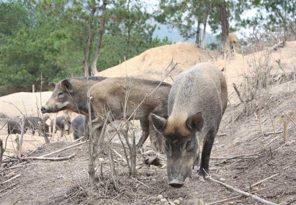 特种野猪养殖的六大误区