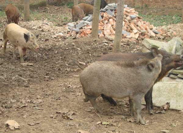 野猪破伤风的治疗方法