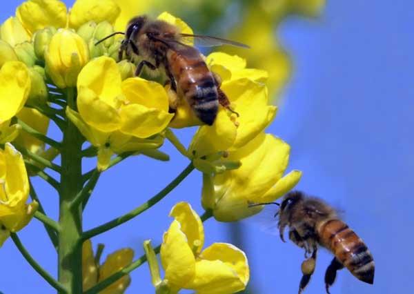 蜂群的合并与调整技术