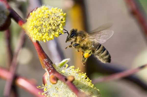 蜜蜂螺原体病防治方法