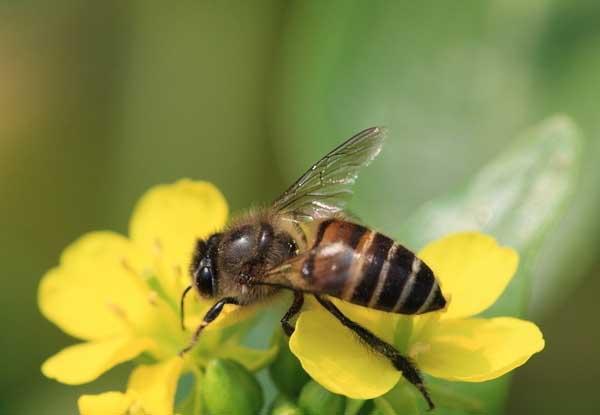 桶养中华蜜蜂的缺点
