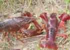 小龙虾人工繁育技术