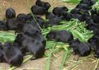 黑豚鼠体内寄生虫防治技术