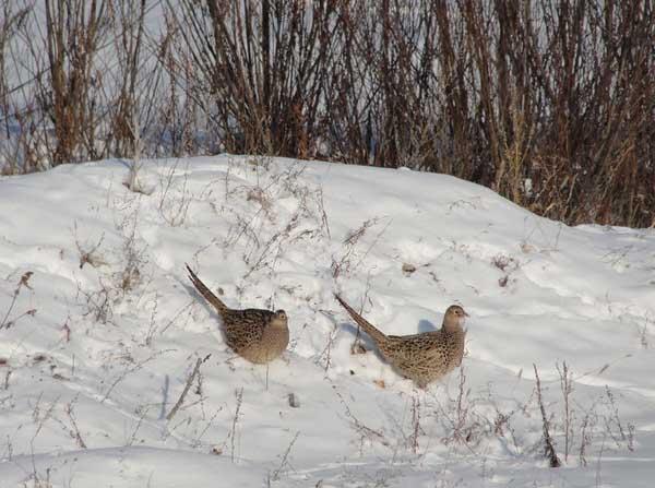 野鸡育雏期对湿度的要求