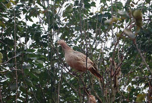 野鸡对养殖密度的要求