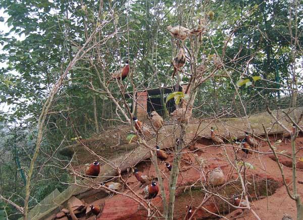 中草药在山鸡养殖中的应用