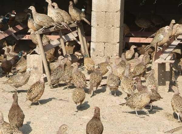 山鸡商品鸡饲养管理技术