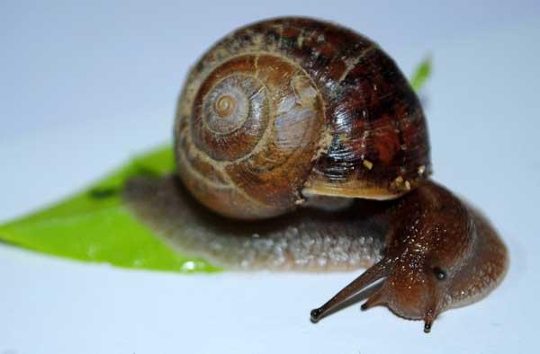 蜗牛的天敌防治技术
