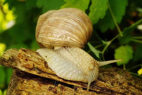 白玉蜗牛饲养注意事项