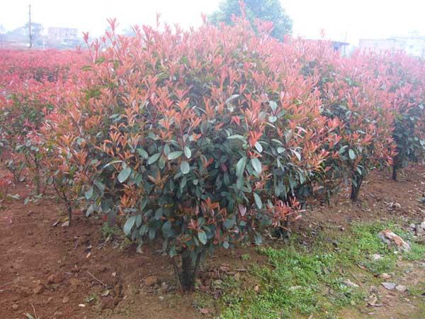 红叶石楠栽培技术