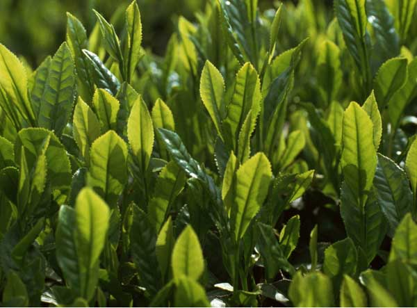 苦丁茶种植常见病虫害的防治技术