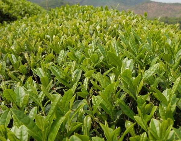 茶叶主要用什么农药图片