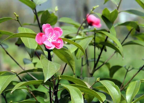 茶树种子繁殖技术