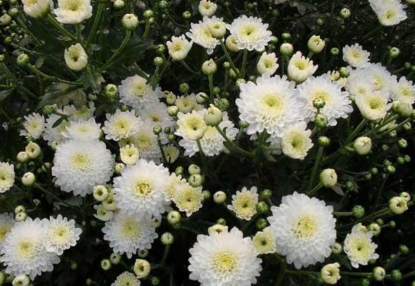 贡菊优质丰产栽培技术与加工方法