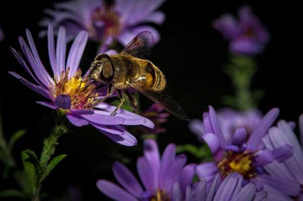 中蜂雄蜂饲养管理