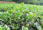 无性系茶叶种植技术