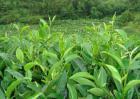 茶树育种品质鉴定方法