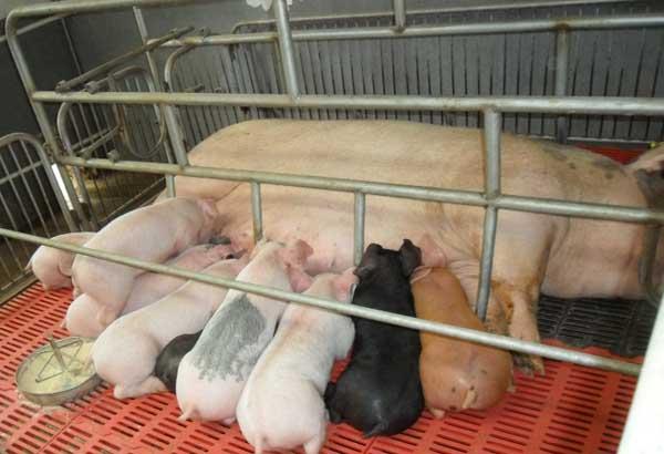 常见的猪饲料添加剂有哪些?