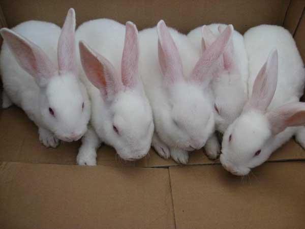 夏季兔子养殖场如何给兔子降温?
