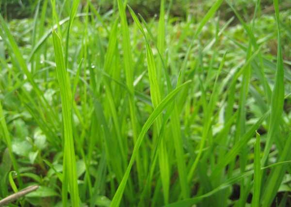 黑麦草种植技术