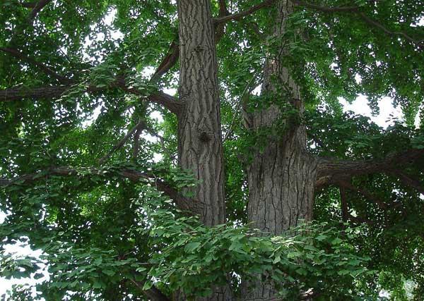 银杏树种植技术