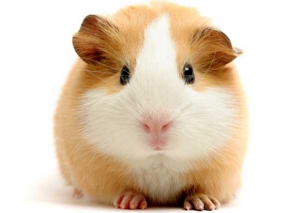 豚鼠的生理特征