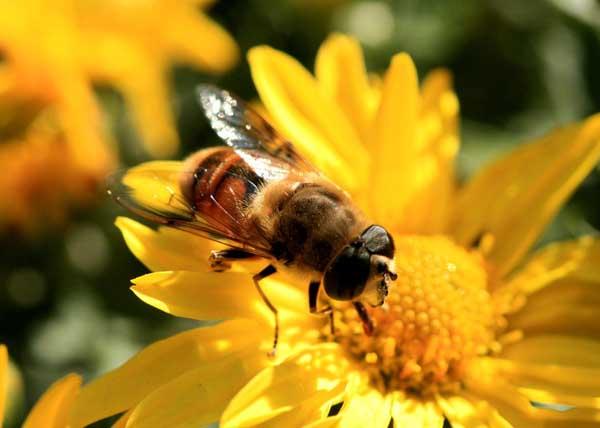 中蜂和意蜂的区别