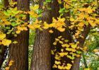 银杏树的特点有哪些?