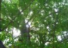 银杏树的作用有哪些?