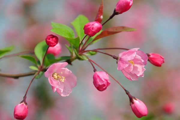 海棠花的种类有哪些?